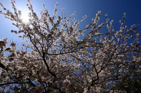 Sakura0001