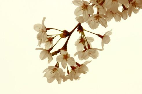 Sakura0001_1